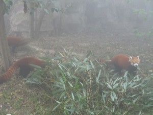 Red Pandas at Chengdu Research and Breeding Centre