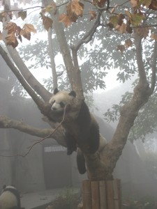 Sleeping Panda at Chengdu Research and Breeding Centre