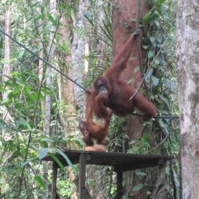 Attack of Adorableness - Orangutans!