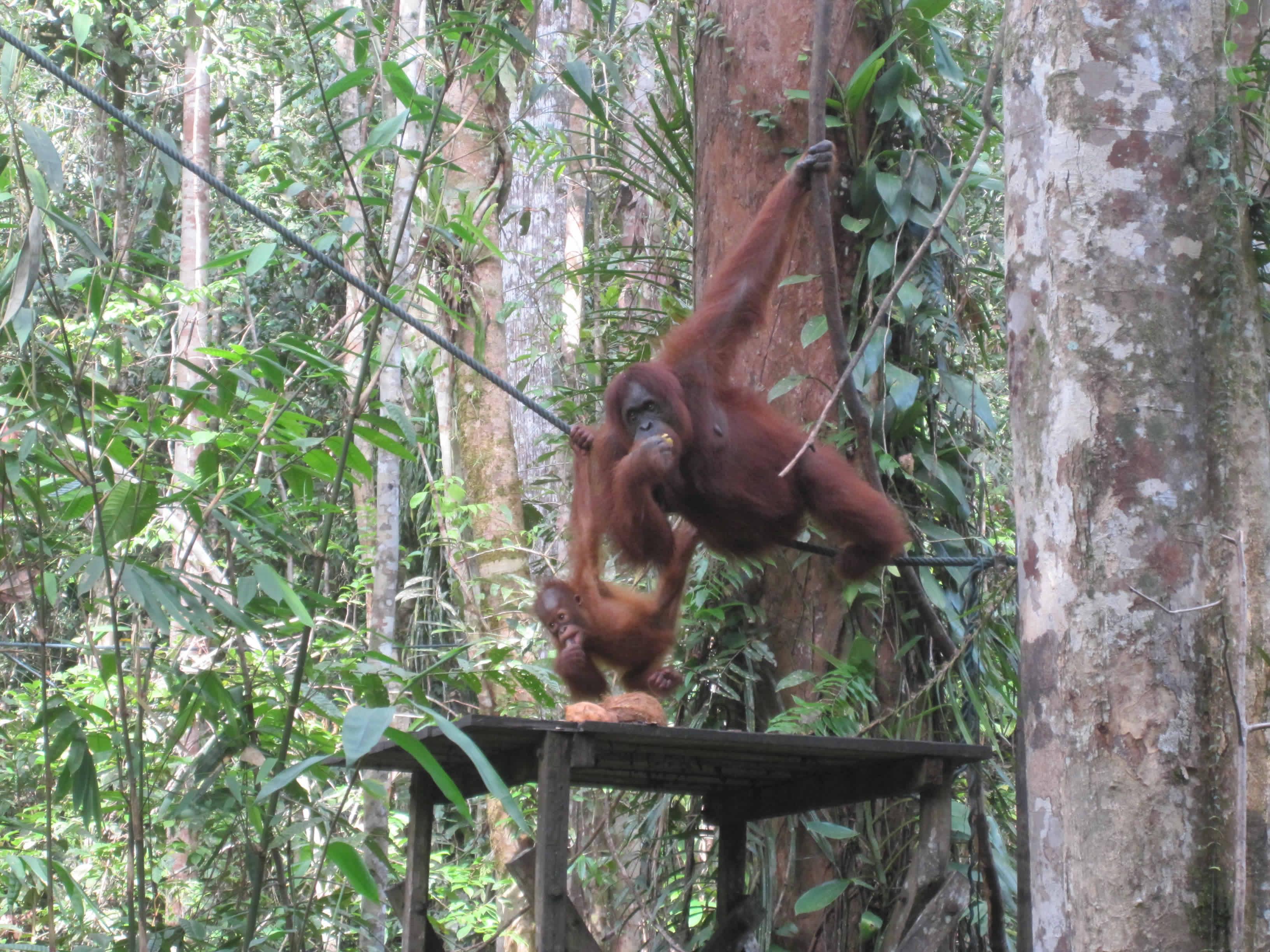 Attack of Adorableness – Orangutans!
